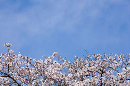 pleasent: Cherry and blue sky
