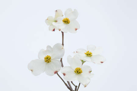 White dogwood flowers stock photo picture and royalty free image stock photo white dogwood flowers mightylinksfo