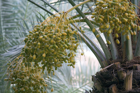 jujube fruits: Fruit of the date palm
