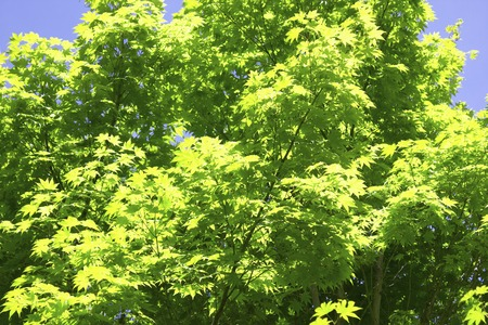 hygenic: Fresh green Maple