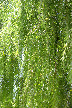 willow: Fresh green willow
