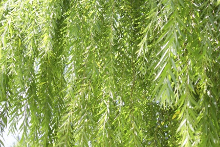 Fresh green willow