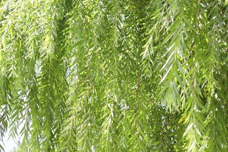 Fresh green willow