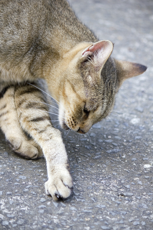 cat grooming: Cat to the grooming and licking the feet Stock Photo
