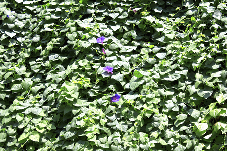 epiphytic: Morning glory and morning glory leaves that epiphytic on one wall of the housing Stock Photo