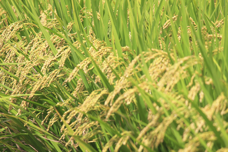 prior: Prior to harvest rice got up of paddy rice