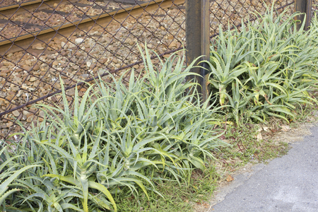 medicated: A lot of aloe that was native along the line of the tram