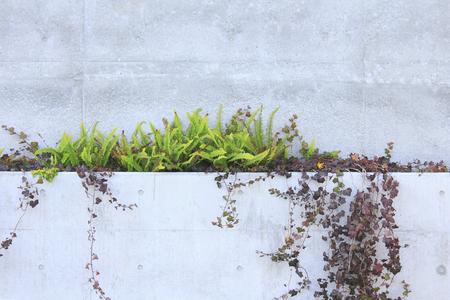 コンクリートの壁にクロールされる植物 写真素材
