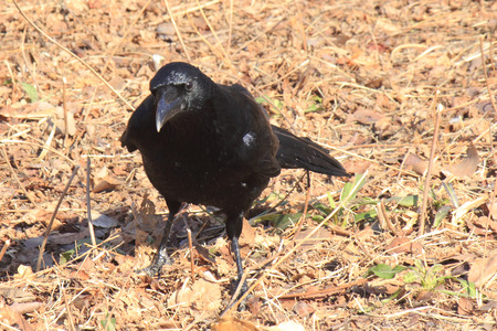 look for: Crow to look for food Stock Photo