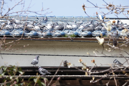 the roof of the house pigeon flock