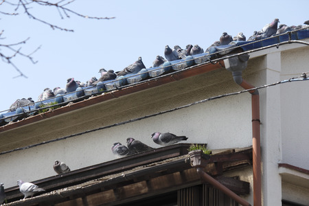 animal private: the roof of the house pigeon flock