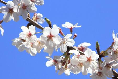 full bloom: Cherry blossoms in full bloom and sky