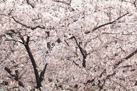 full bloom: Cherry blossoms in full bloom