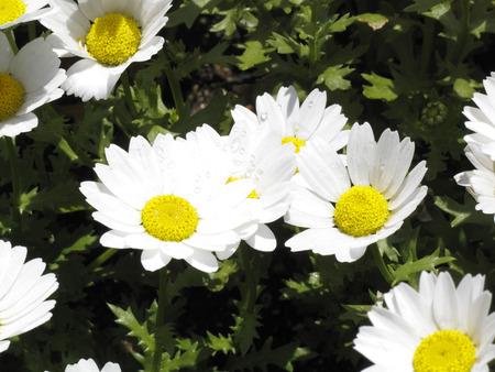 massif de fleurs: Kiku-ka fleur blanche parterre Banque d'images