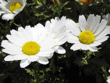 flowerbed: Kiku-ka white flower flowerbed