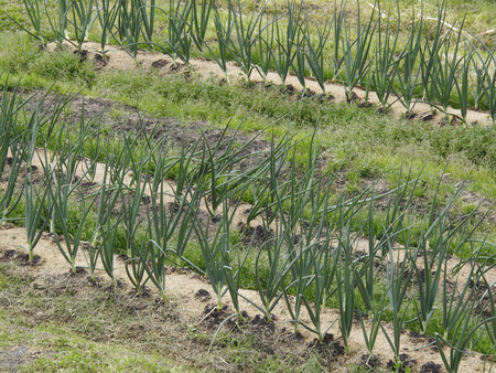 cultivation: Cultivation of leek field
