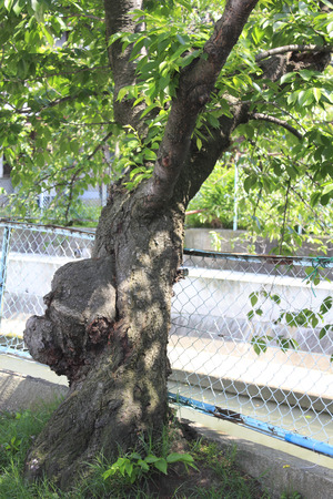wire mesh: Cherry trees that have grown to defeat the wire mesh Stock Photo