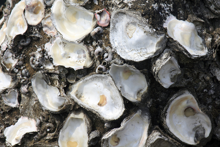 oyster shell: Of rock oyster shell