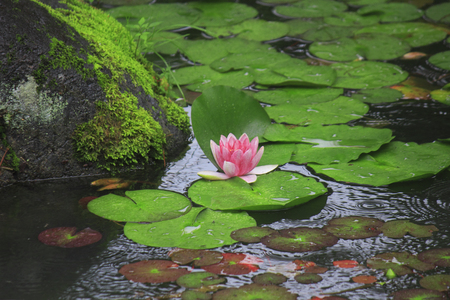 water lilies: Water Lilies of the rainy Japanese-style garden