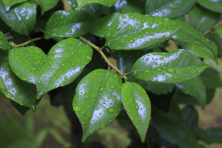 be wet: Leaves of camellia wet in the rain Stock Photo