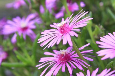 asteraceae: Asteraceae flower Stock Photo