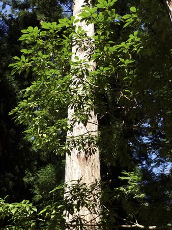 hinoki: Stem of cypress Stock Photo