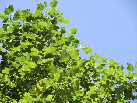 sicomoro: Leaves of sycamore