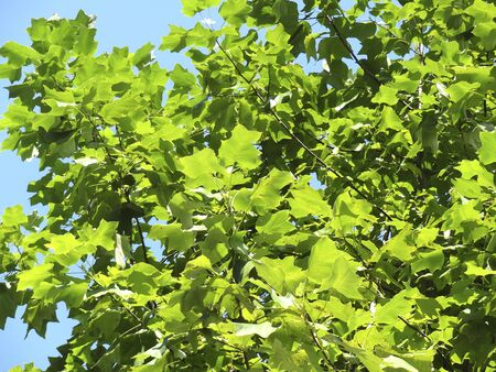 sycamore: Leaves of sycamore