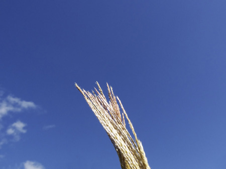 frail: Japanese pampas grass and a blue sky
