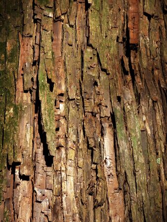 hinoki: Bark of Japanese cypress Stock Photo