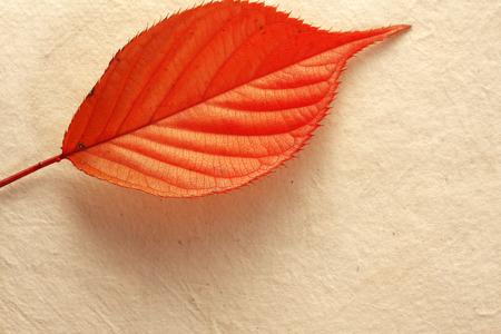 Leaves of cherry Stock Photo