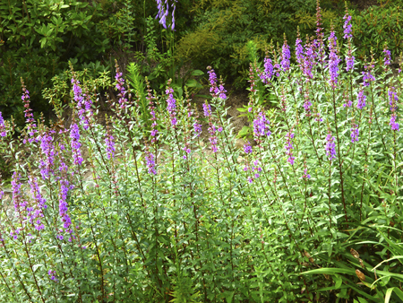 veronica flower: Veronica Supika data