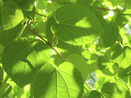 hygenic: Leaves of cercidiphyllum japonicum