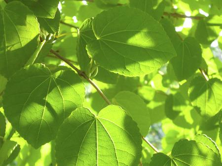 hygenic: Leaves of cercidiphyllum japonicum