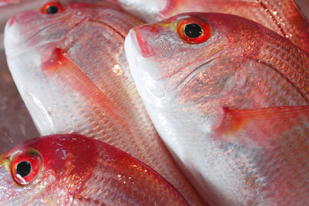 snapper: Red Snapper