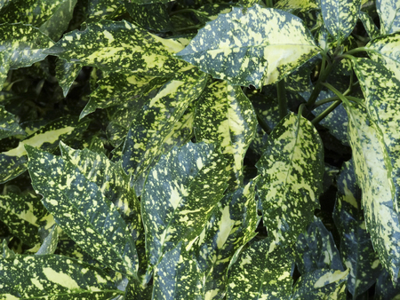 andromeda: Leaves of andromeda