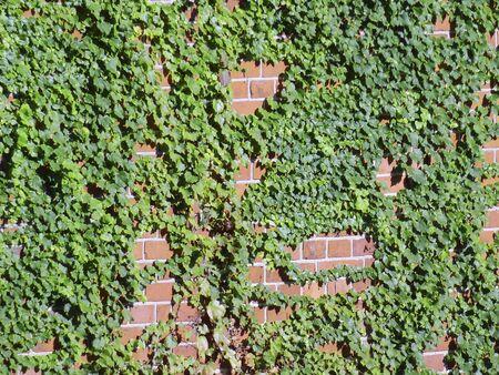 レンガの壁の上でクロール アイビー