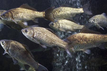 crucian carp: Carassius auratus langsdorfii of aquarium