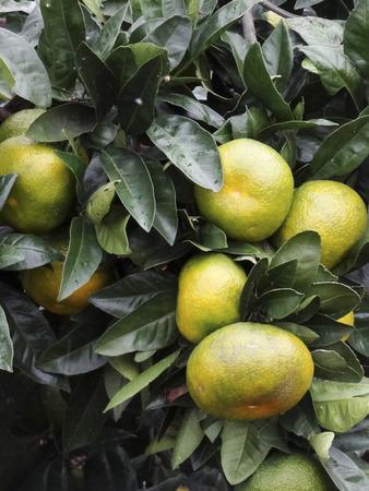 mandarin orange: Mandarin orange trees