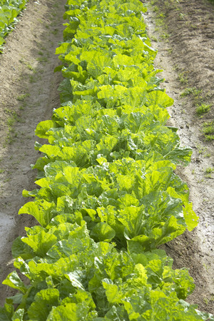 the greens: Cultivation of lettuce greens