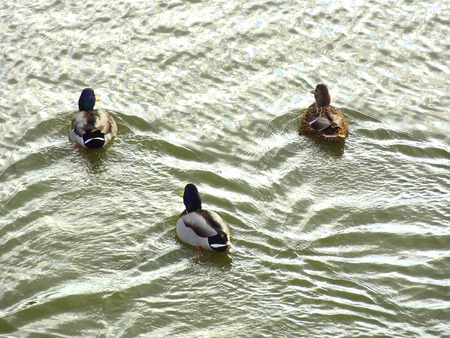 has been: Duck, which has been flying to the pond