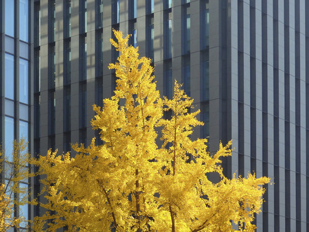 Mido Ginkgo leaves photo
