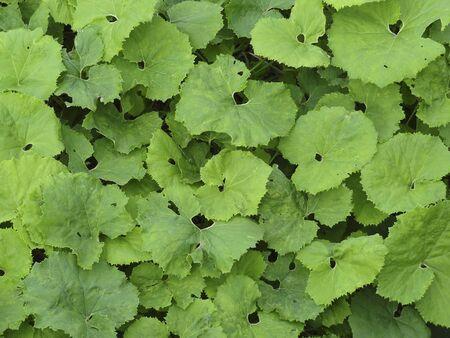 butterbur: Butterbur leaves