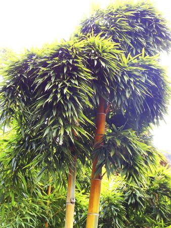 delusion: Kin Mei delusion bamboo Stock Photo