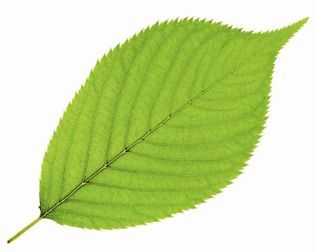Leaf of cherry tree