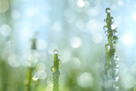 Leaves of grass and water droplets