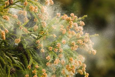 a cedar: Cedar polen