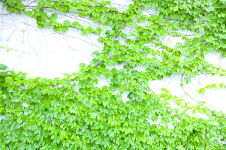 ivy wall: White wall of ivy Stock Photo