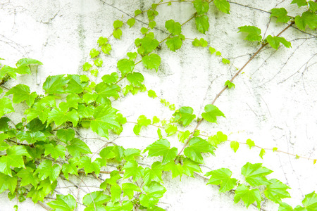 white wall: White wall of ivy Stock Photo