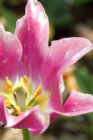 asian tulips: Tulip